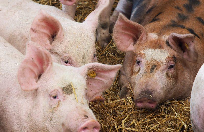 Duroc Schweinefleisch