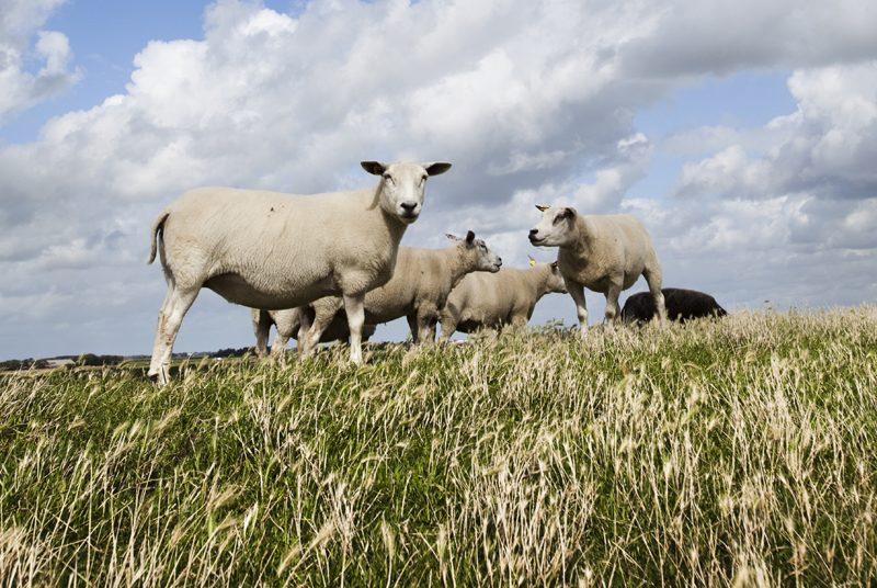 Lammfleisch Wiesbauer Gourmet