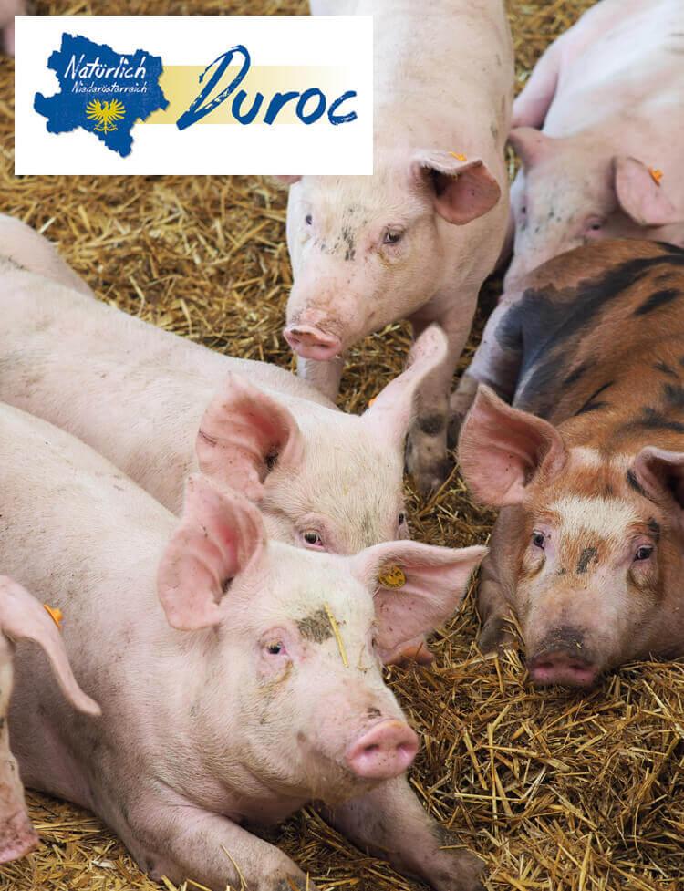 Duroc Schweinefleisch kaufen, Duroc Schweinefleisch online kaufen, Duroc Schweinefleisch kaufen, Duroc online Schweinefleisch kaufen, Duroc Schweinefleisch kaufen, Schweinefleisch online kaufen, Schweinefleisch online bestellen