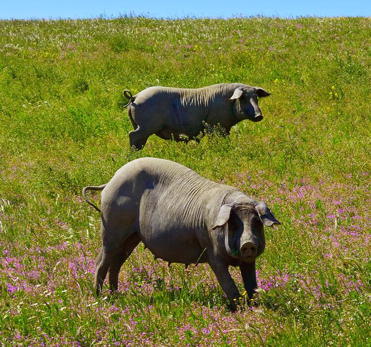 Iberico Schweinefleisch, Schweinefleisch kaufen, Schweinefleisch online kaufen, Iberico Schweinefleisch kaufen, Mangalitza Schweinefleisch kaufen, Duroc Schweinefleisch kaufen, Schweinefleisch online kaufen, Schweinefleisch online bestellen
