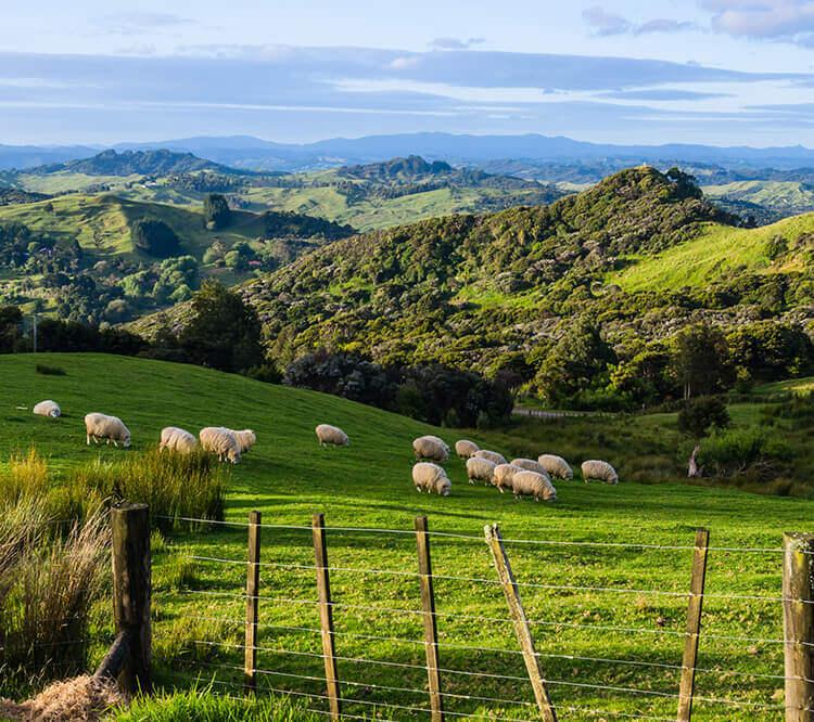 Lammfleisch aus Neuseeland, Neuseeland Lamm kaufen, Lammfleisch kaufen Neuseeland