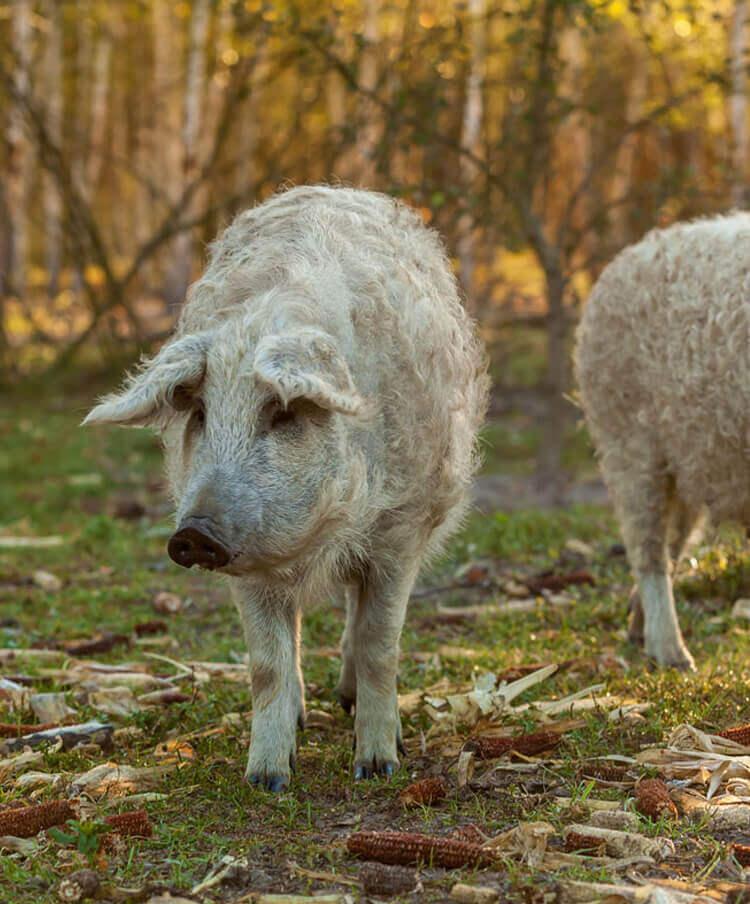 Mangalitza / Mangalica Schweinefleisch, Schweinefleisch kaufen, Schweinefleisch online kaufen, Iberico Schweinefleisch kaufen, Mangalitza Schweinefleisch kaufen, Duroc Schweinefleisch kaufen, Schweinefleisch online kaufen, Schweinefleisch online bestellen