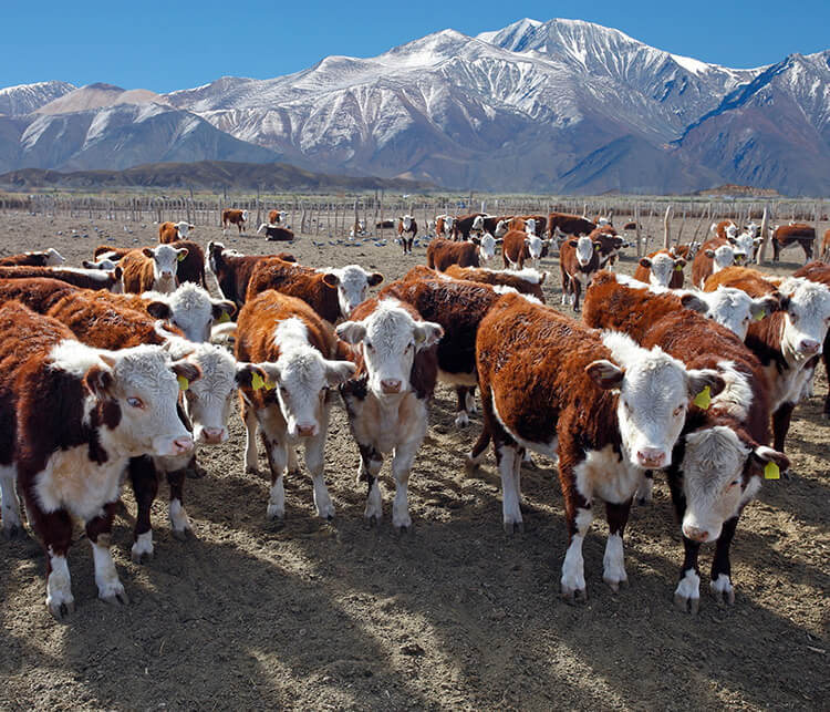 Rindfleisch aus Argentinien, Rindfleisch Argentinien, Rindfleisch kaufen Argentinien, Premium Rindfleisch Argentinien, argentinisches Rindfleisch