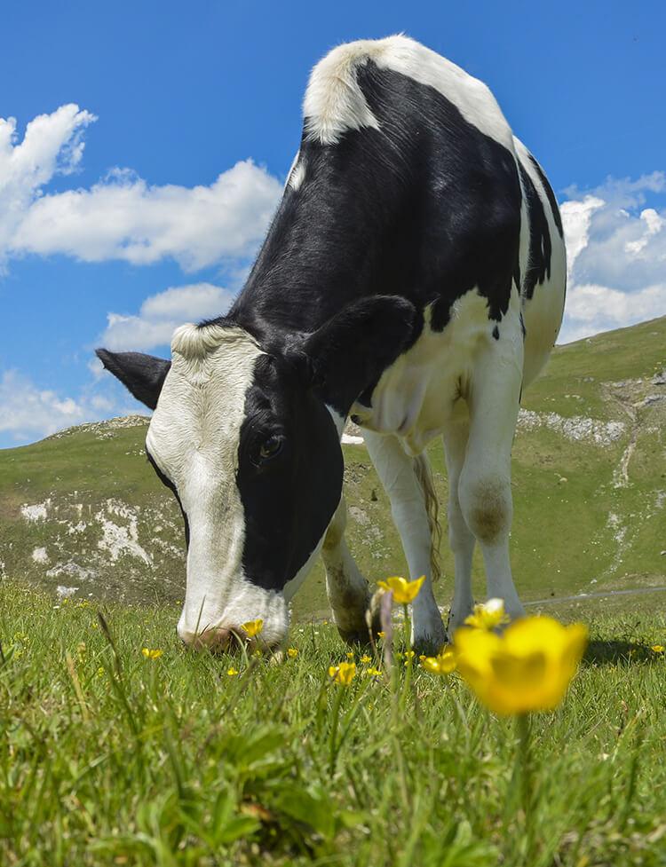 Rindfleisch aus Österreich, Rindfleisch Österreich, Fleckvieh, Rind aus Österreich, Kuh Österreich. Heimisches Rind / Rindfleisch aus Österreich