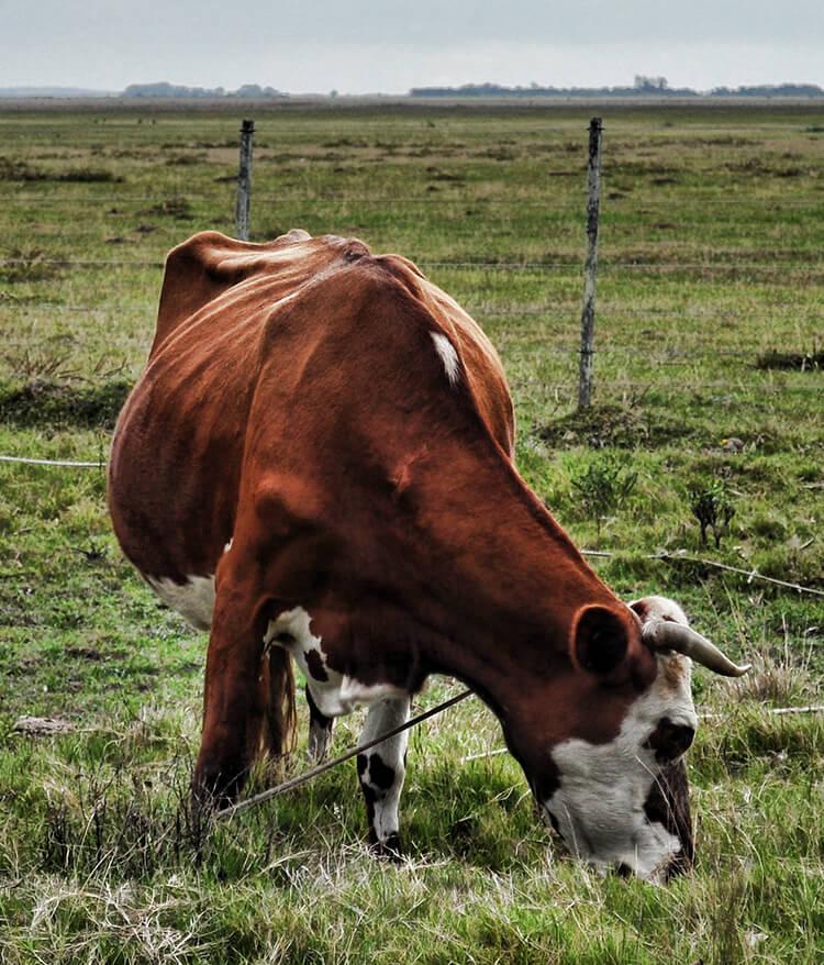 Rindfleisch aus Uruguay, Rindfleisch Uruguay kaufen, Rindfleisch Uruguay online kaufen, Rindfleisch Uruguay bestellen, Rindfleisch Uruguay online bestellen, Rindfleisch Uruguay online Shop