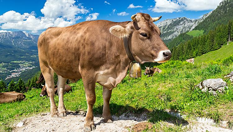 Rindfleisch in Österreich, Rinder Österreich kaufen, Rindfleisch kaufen Österreich
