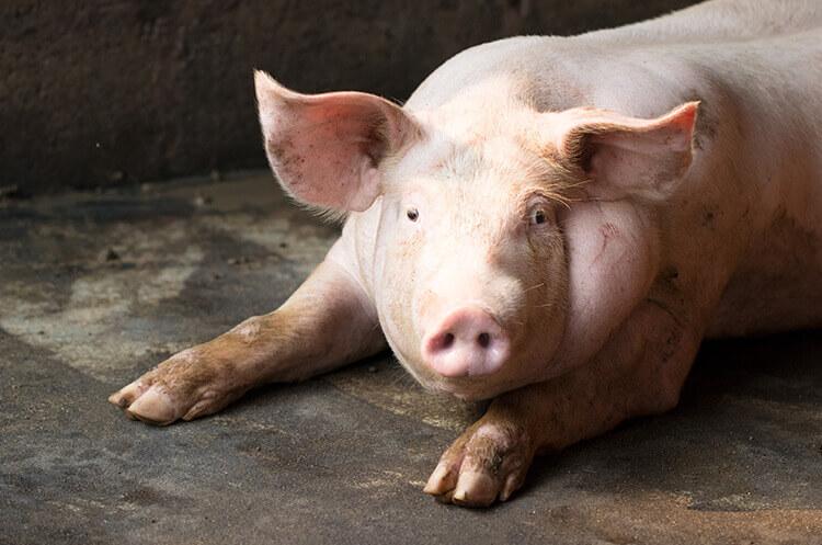Schweinefleisch Schweinerassen, Schweinefleisch kaufen, Schweinefleisch online kaufen, Iberico Schweinefleisch kaufen, Mangalitza Schweinefleisch kaufen, Duroc Schweinefleisch kaufen, Schweinefleisch online kaufen, Schweinefleisch online bestellen