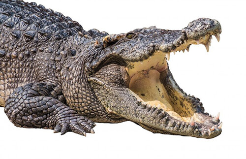Krokodilfilet in Mojito-Marinade mit Limetten-Juliennegemüse